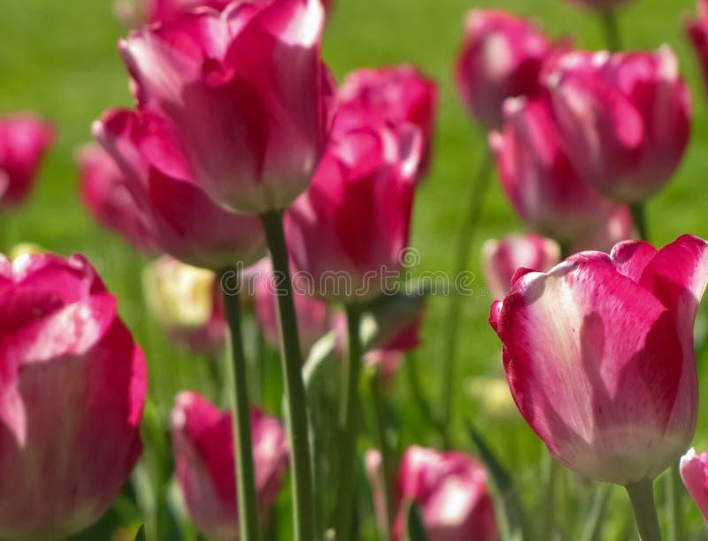 Macro Middelgrote Roze Tulpen met Stammen stock fotografie