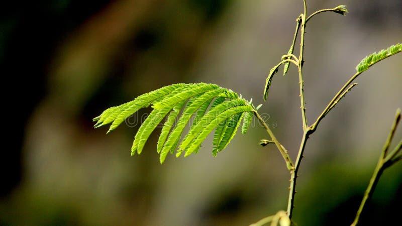 Macro Mimosa plant. stock image