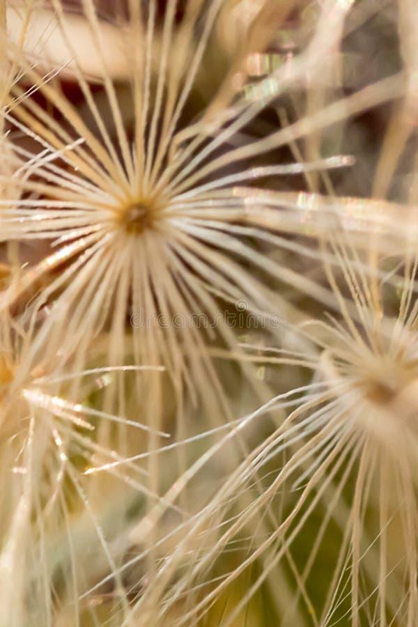 Macro modèle de jeune plante blanche de pissenlit photographie stock