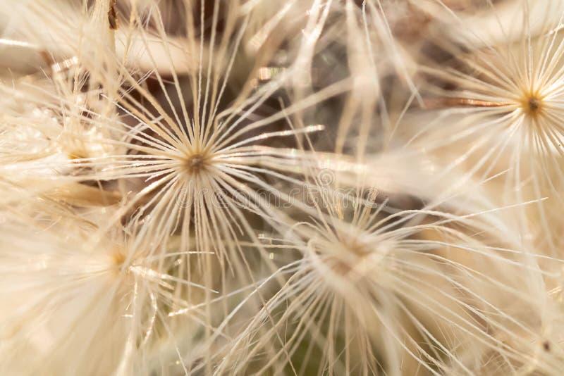Macro modèle de jeune plante blanche de pissenlit photos stock