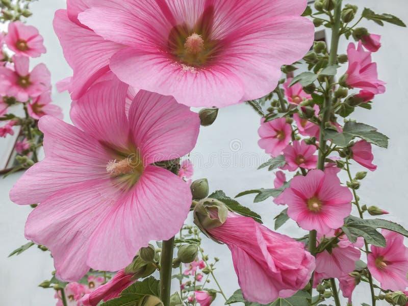 Macro mooie Alcea-rosea, Roze Malva of Stokroos in de tuin Lange bloemstokroos met reusachtige bloemen royalty-vrije stock afbeeldingen