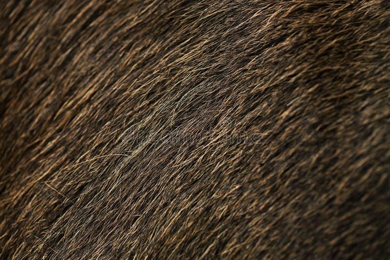 Macro moose fur texture. Macro natural moose fur texture stock photos