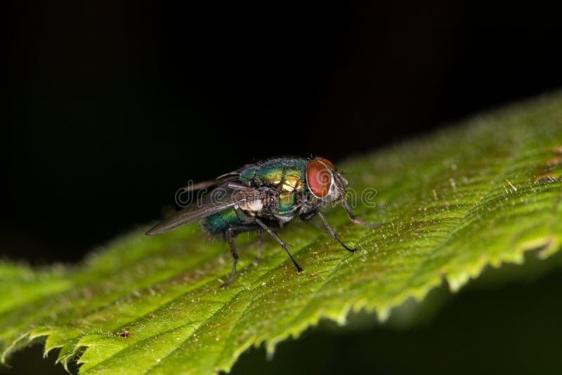 Macro - mosca de la moscarda imágenes de archivo libres de regalías
