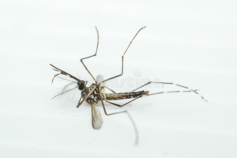 Macro of mosquito (Aedes aegypti) , isolated on white backgroun. Macro of mosquito (Aedes aegypti) . Mosquito is carrier of Malaria, Encephalitis, Dengue and royalty free stock images