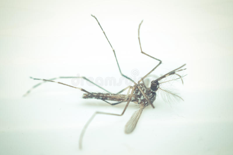 Macro of mosquito (Aedes aegypti) , isolated on white backgroun. Macro of mosquito (Aedes aegypti) . Mosquito is carrier of Malaria, Encephalitis, Dengue and royalty free stock photos