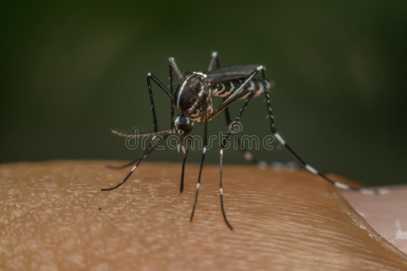 Macro of mosquito (Aedes aegypti) sucking blood. Close up on the human skin. Mosquito is carrier of Malaria, Encephalitis, Dengue and Zika virus royalty free stock photo