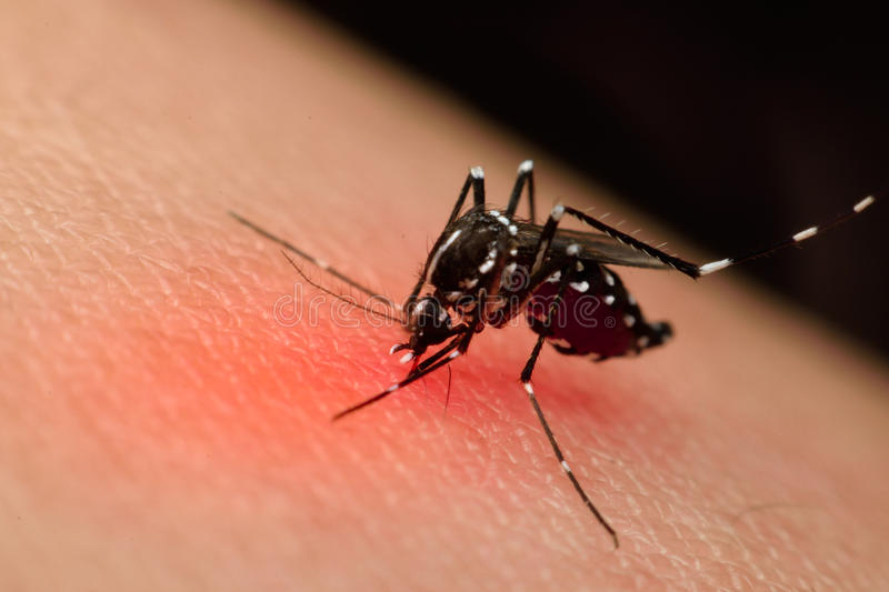 Macro of mosquito (Aedes aegypti) sucking blood. Close up on the human skin. Mosquito is carrier of Malaria, Encephalitis, Dengue and Zika virus , process in royalty free stock photos