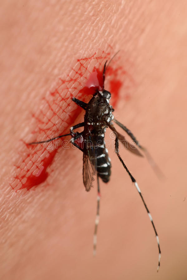 Macro of mosquito sucking blood. Close up on the human skin. Mosquito is carrier of Malaria, Encephalitis, Dengue and Zika virus stock photography
