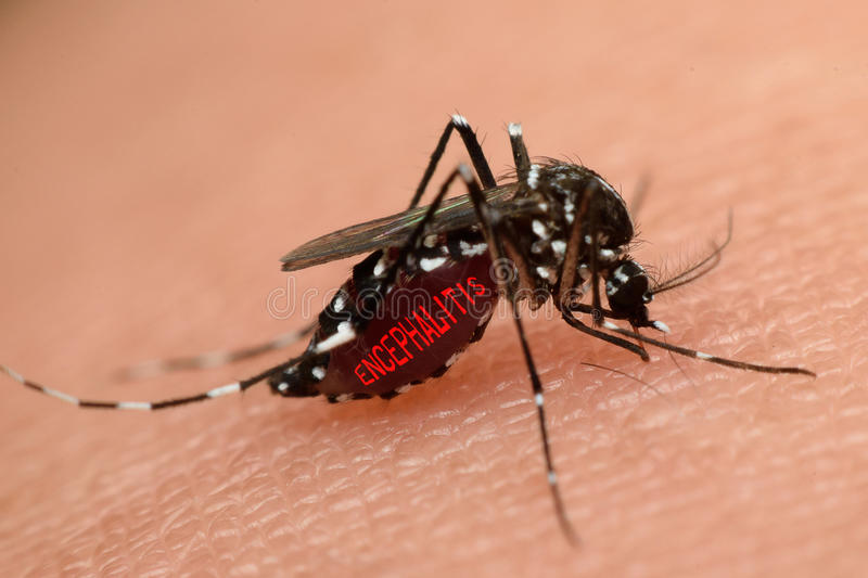 Macro of mosquito sucking blood. Close up on the human skin. Mosquito is carrier of Malaria, Encephalitis, Dengue and Zika virus royalty free stock photography