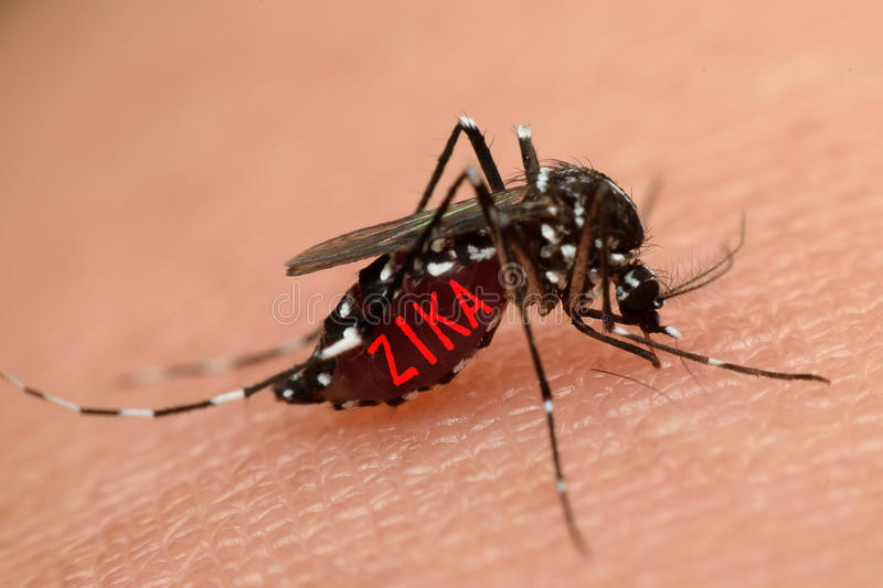 Macro of mosquito sucking blood. Close up on the human skin. Mosquito is carrier of Malaria, Encephalitis, Dengue and Zika virus royalty free stock images