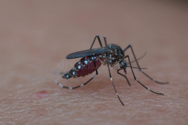 Macro of mosquito sucking blood. Close up on the human skin. Mosquito is carrier of Malaria, Encephalitis, Dengue and Zika virus royalty free stock image