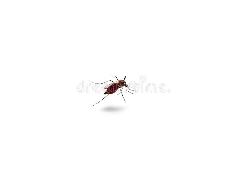 Macro of mosquito sucking blood isolated on white background,Mosquito dangerous is carrier of malaria, encephalitis dengue and. Zika royalty free stock photography