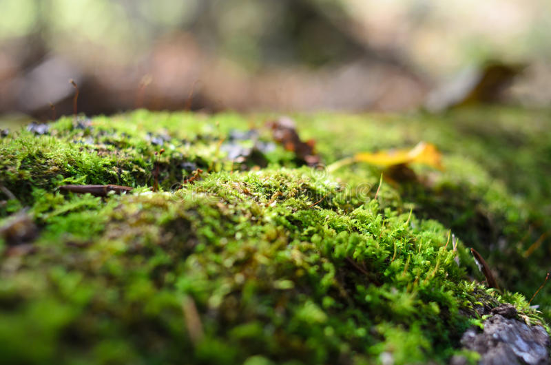 Macro moss in forest royalty free stock image