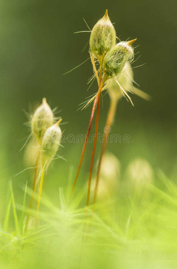 Macro moss of kukushkin flax Polytrichum commune in the forest. Macro moss of kukushkin flax Polytrichum commune on a summer day in the forest stock photo
