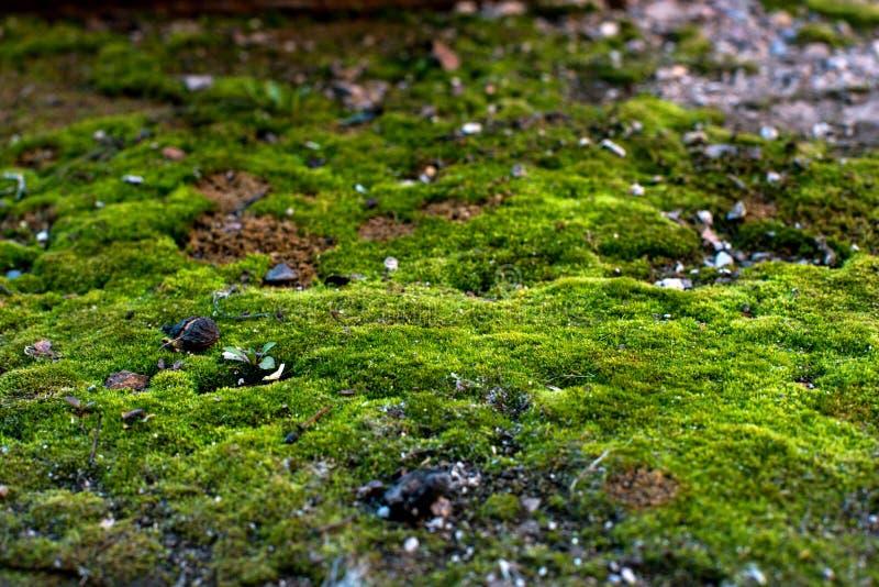 Macro musgo verde que cresce somente nos olhares nortes como uma floresta feericamente foto de stock