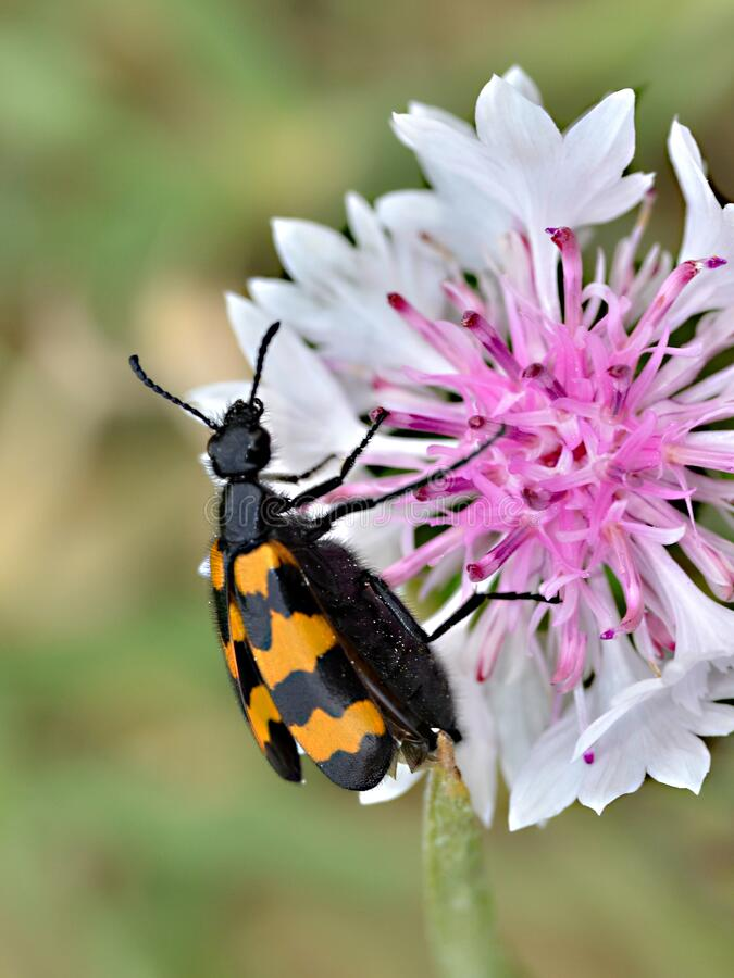 Macro mylabris beetle on flower stock images