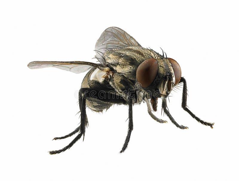 Macro na mosca fotografia de stock royalty free