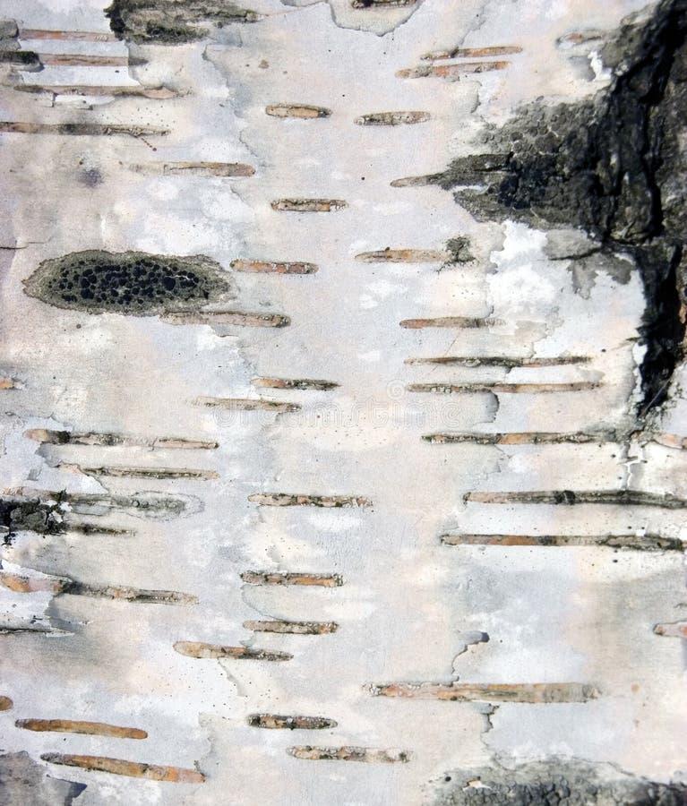 Macro natural do fundo da textura da casca de vidoeiro imagens de stock