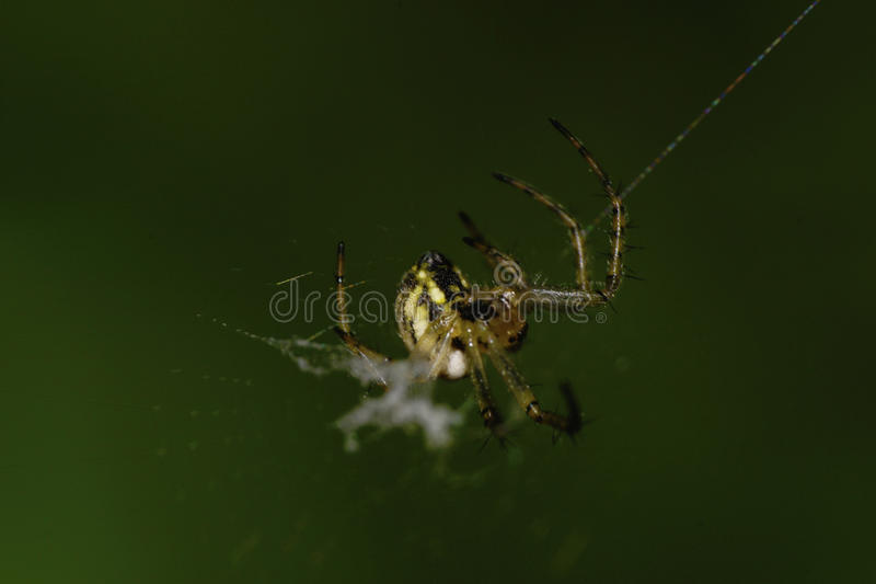 Macro newly hatched young Caucasian spider Araneus royalty free stock photos