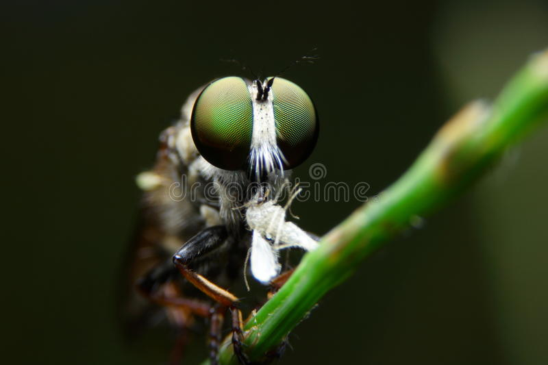 Macro obber fly. On green pine royalty free stock photo