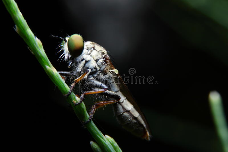 Macro obber fly. On green pine royalty free stock photos