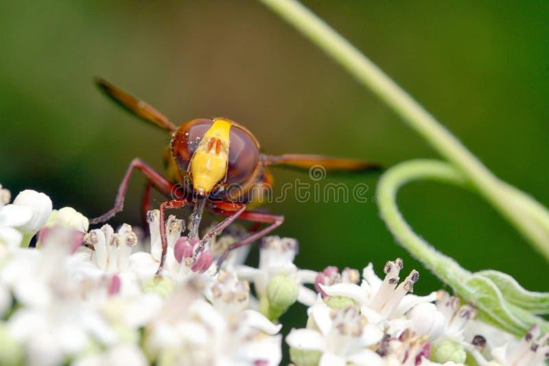 Macro observada grande de la mosca fotos de archivo libres de regalías