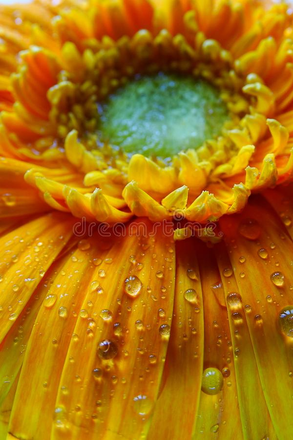 Free Macro Of Gerbera Flower Wallpaper Stock Images - 104098864