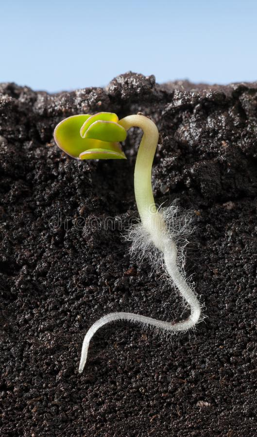 Free Macro Of Growing Under Ground Cucumber Sprout Stock Photography - 142123912