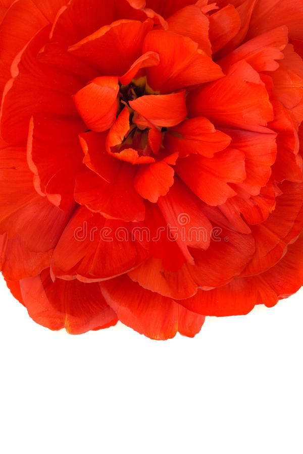Free Macro Of Red Tulip Bud Isolated Royalty Free Stock Photography - 17330557