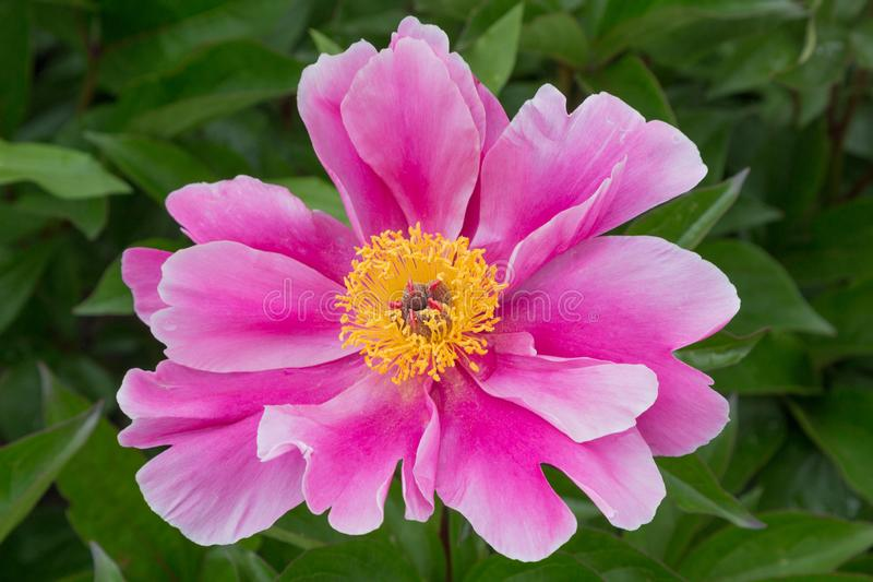Macro of one bright paeony blossom pink color with yellow middle, on green leaves. Of the bush stock images