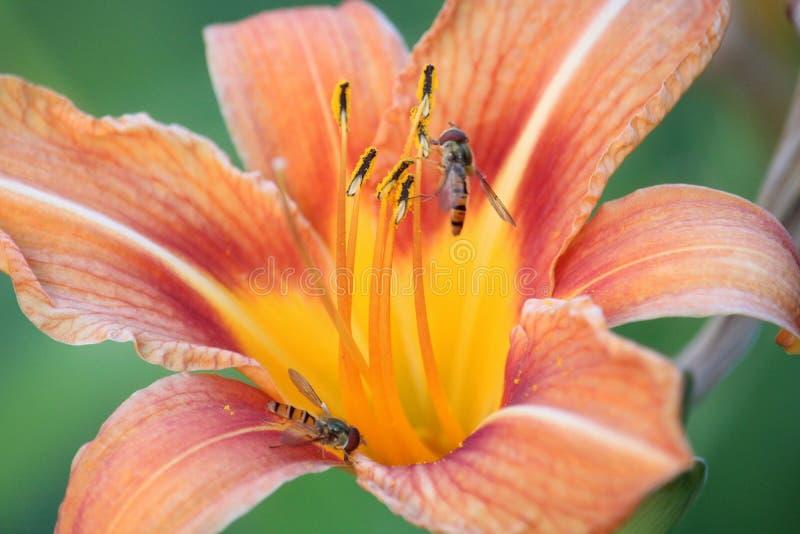 Macro orange de paysage de fleur de lis avec des guêpes photographie stock