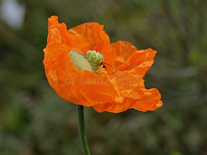 Beautiful orange poppy flower stock image