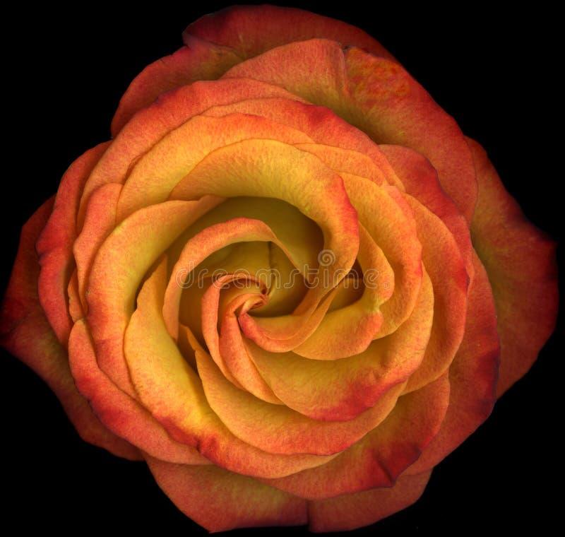Free Macro Orange Rose In Bloom Royalty Free Stock Images - 10261649
