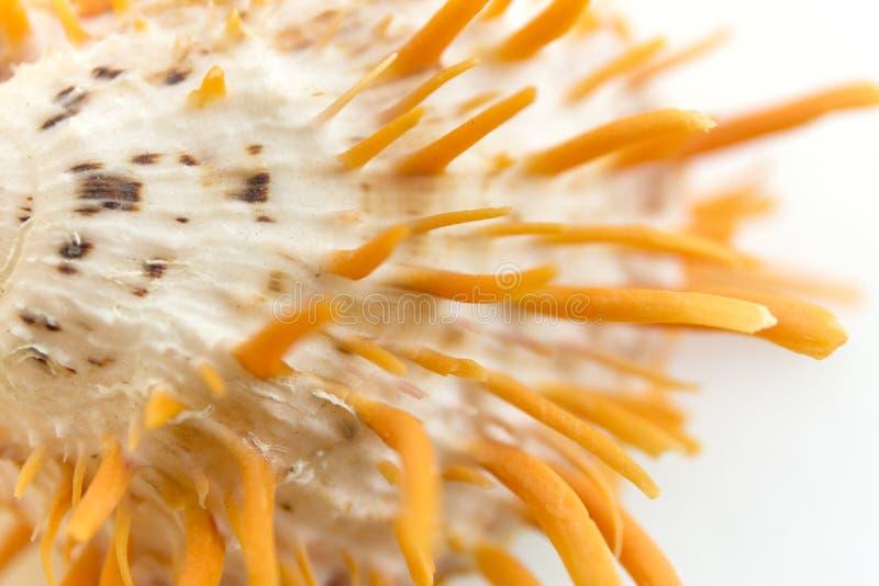 Macro orange seashell. Blur close up shell background. Macro orange seashell. Blur close up shell background stock image
