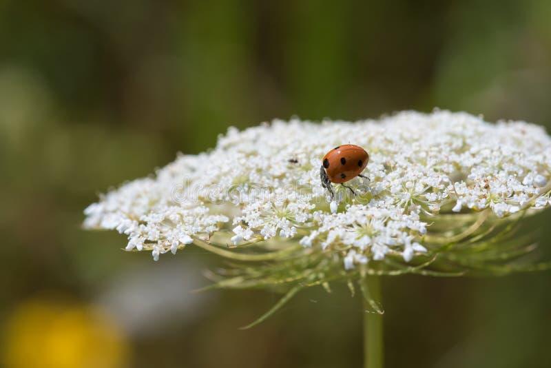 Macro Oranje Lieveheersbeestje op Witte Wildflowers royalty-vrije stock afbeelding