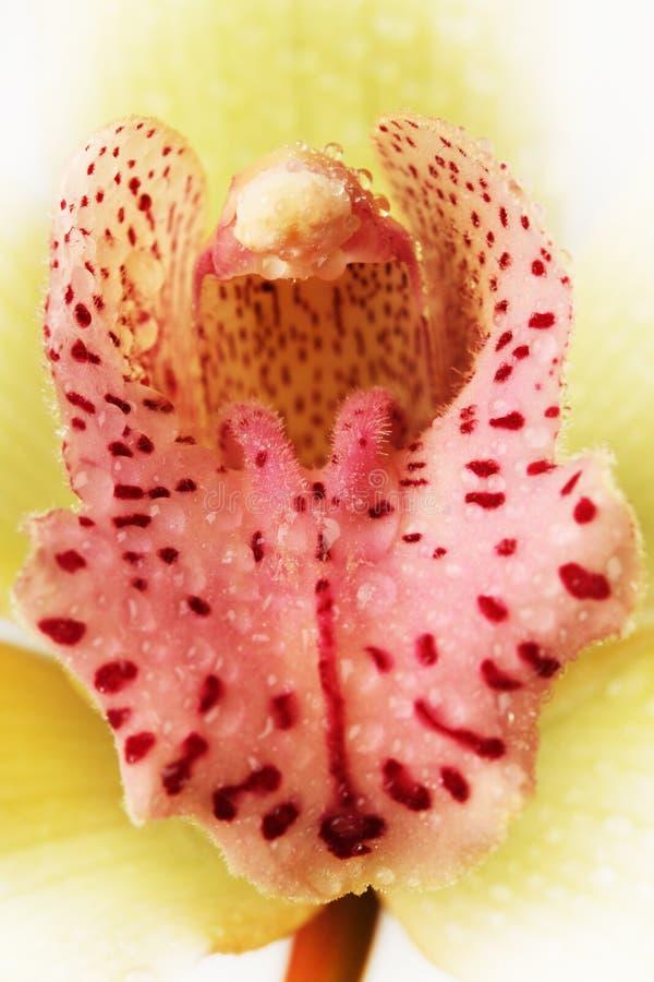 Macro Orchid Stock Photos