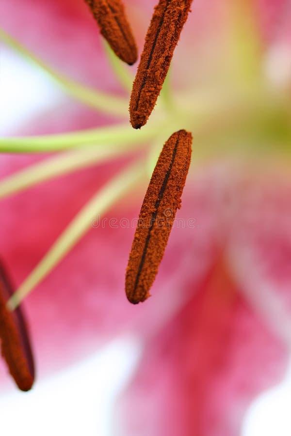 Macro oriental rosada del lirio imagenes de archivo