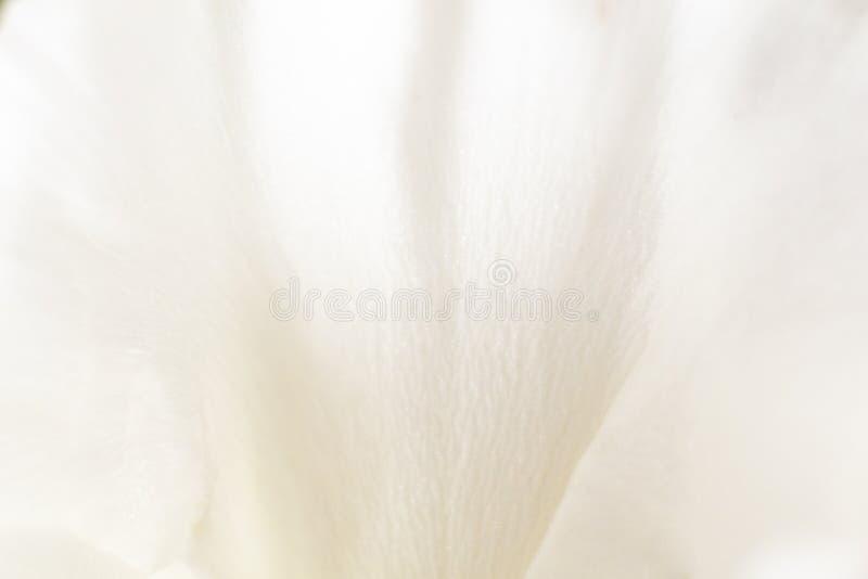 Macro pétale blanc mou d'oeillet photo stock