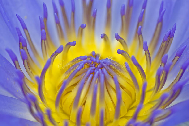 Macro púrpura del lirio de agua imagen de archivo libre de regalías