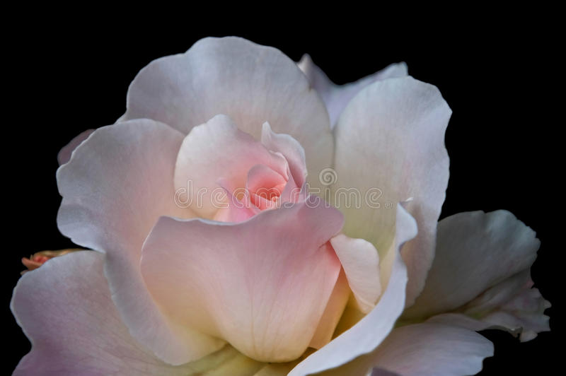 Macro of Pale Pink Tea Rose Black Background. This stock image is a very pale pink, almost white tea rose with soft delicated petals, against a black background stock photos