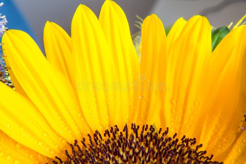 Download Macro Parte Del Colpo Della Fioritura Gialla Del Girasole Fotografia Stock - Immagine di fioritura, colore: 56886732