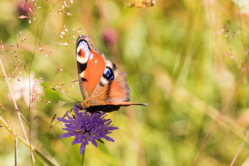 Macro of a peacock butterfly on a purple flower stock photography
