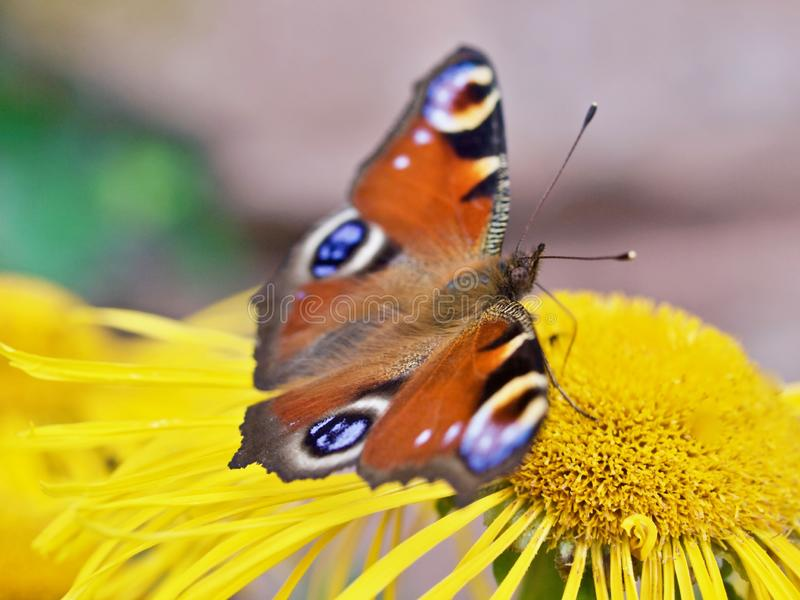 Macro of a peacock butterly on a yellow flower stock photography