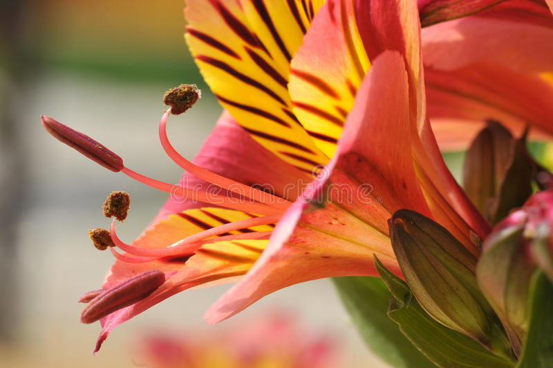 Macro Peruvian lily flower royalty free stock photography