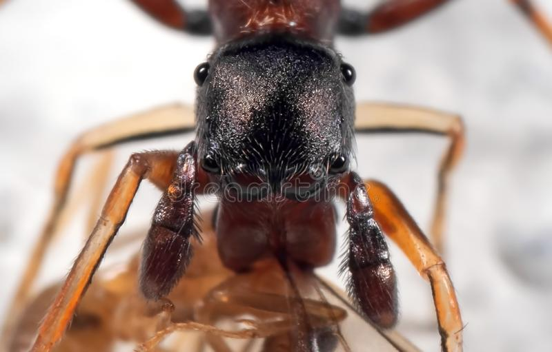 Macro Photo of Ant Mimic Jumping Spider Biting Prey on White Floor stock image