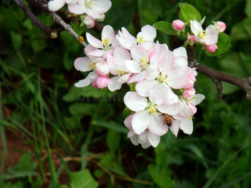 Macro photo of apple tree flowers with a bee royalty free stock photos