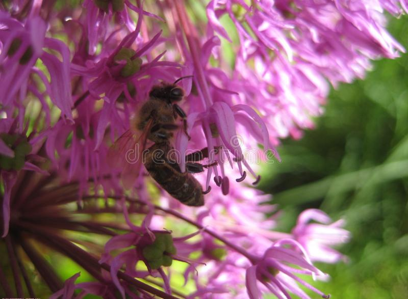 Macro photo with a beautiful flower of Allium with spherical inflorescence purple and nectar-gathering bee royalty free stock images
