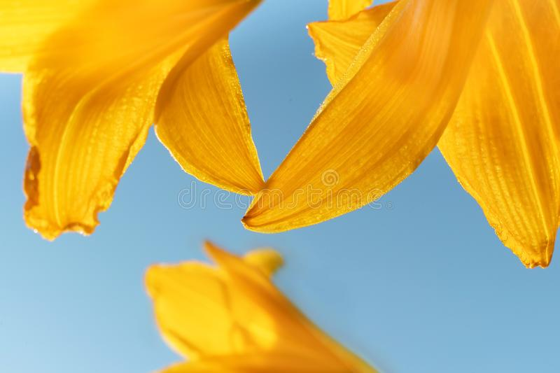 Macro photo of beautiful yellow lily hemerocallis blossoms in evening sunset light of summer garden against blue sky. royalty free stock photo