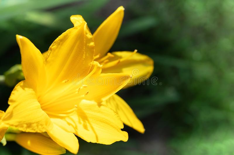 Macro photo of beautiful yellow lily hemerocallis blossoms in evening sunset light of summer garden. Macro photo of beautiful yellow lily hemerocallis blossoms royalty free stock image
