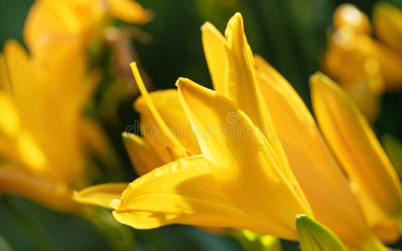 Macro photo of beautiful yellow lily hemerocallis blossoms in evening sunset light of summer garden. Macro photo of beautiful yellow lily hemerocallis blossoms stock photography